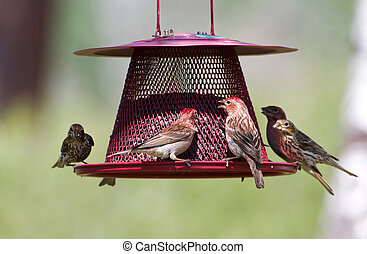 House Finch and feeder close up
