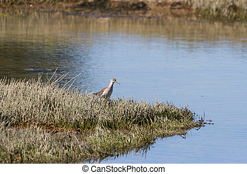 lesser Yellowlegs on seashore close up