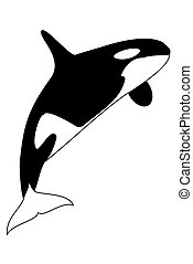 Killer Whale - A blacm and white killer whale