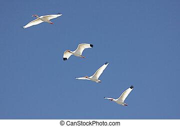 White Ibis Eudocimus albus - Flock of White Ibis Eudocimus...