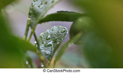 wet foliage of lime tree - citrus leaves with water drops