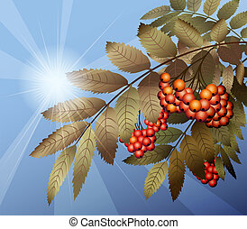 Mountain Ash - Illustration with cluster of mountain ash...