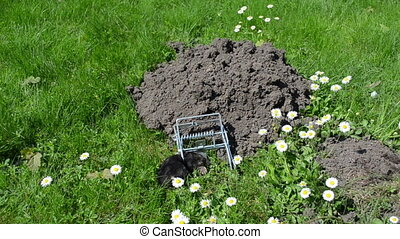 mole trap dead - Mole caught with special trap near mole...