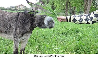 woman donkey feed grass - Donkey muzzle closeup and farmer...