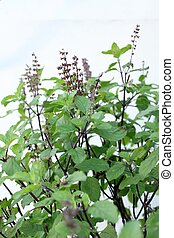 Holy basil on white background