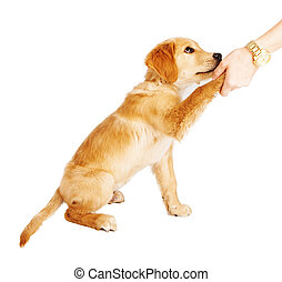 Golden Retriever Puppy Handshake - A cute Golden Retriever...