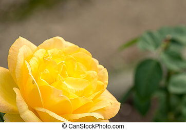 vivid yellow rose flower - this photo is taken in Nagoya...