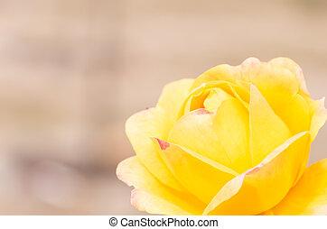 vivid yellow rose flower - this photo is taken in Nagoya...