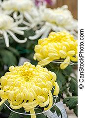 large yellow chrysanthemum - this photo is taken in Nagoya...