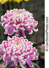 vivid pink chrysanthemum - this photo is taken in Nagoya...