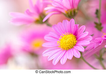 pink chrysanthemum flower - this photo is taken in Nagoya...