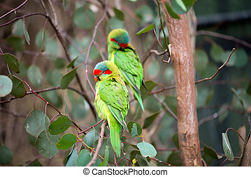 Swift parrots on a tree - Wild swift parrots sitting on...
