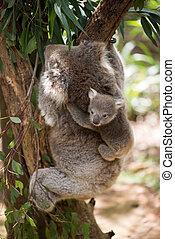 Koala with baby climbing on a tree.