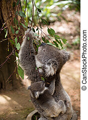 Koala and joey eating eucaliptus leaves