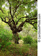 "Quercus sober tree - ""Quercus sober"" tree, typical..."