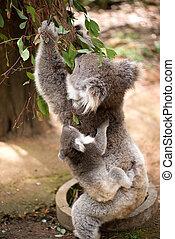 Koala and joey eating eucaliptus leaves.