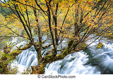 autumn maple with flowing creek at jiuzhaigou valley...
