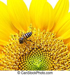 fim, cima, girassol, abelha, Isole, branca, fundo
