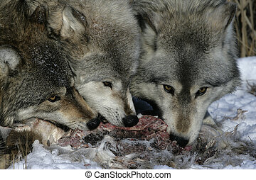 Grey wolf, Canis lupus, group feeding on carcass, captive,...