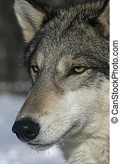 Grey wolf, Canis lupus, single mammal head shot, captive,...
