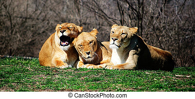 Three Lions Laying - Three Female Lions laying together at...