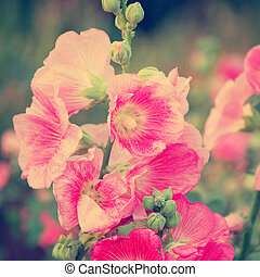 Pink hollyhock (Althaea rosea) blossoms vintage tone style