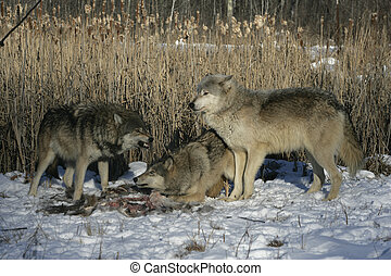 Grey wolf, Canis lupus - Grey wolf, Canis lupus, group...