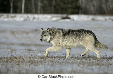 Grey wolf, Canis lupus, single mammal on snow, captive,...