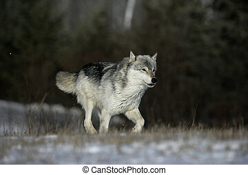 Grey wolf, Canis lupus, single mammal running on snow,...