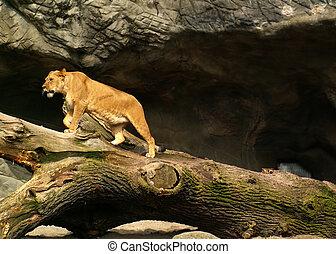 Lion female walking on a fallen tree
