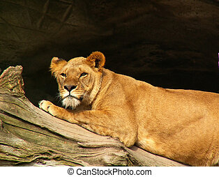 African lion resting - African lion female resting in the...