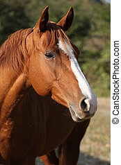 Beautiful chestnut quarter horse in autumn - Portrait of...