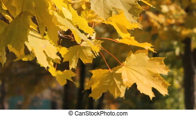maple Leaves - yellowed maple leaves