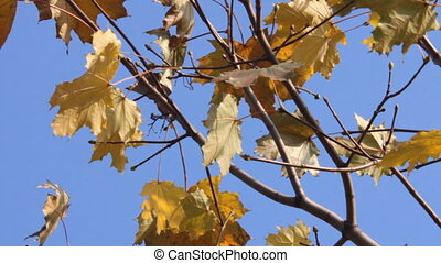 maple branch - yellowed maple leaves