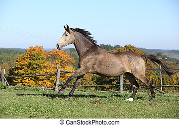 Beautiful horse running on pasturage in autumn - Beautiful...