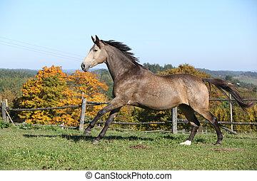Beautiful horse running on pasturage in autumn - Beautiful...