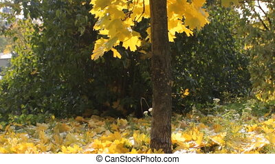 maple tree - yellowed maple leaves