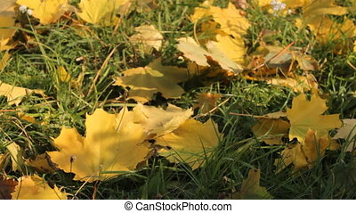 maple tree - yellowed maple leaves