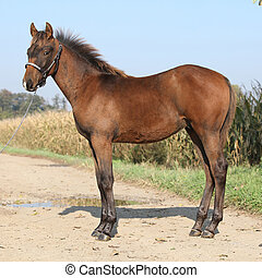Nice foal with western halter looking at you