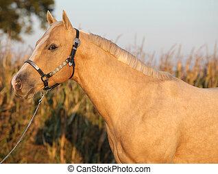 Nice palomino horse in sunset - Portrait of nice palomino...