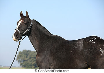 negro, appaloosa, yegua, Occidental, cabestro