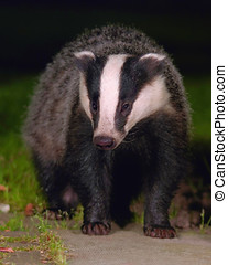 badger at night - European badger