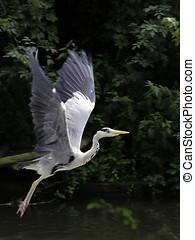 take off - heron taking off