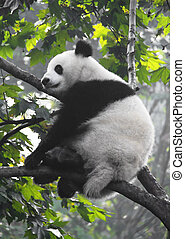 Giant panda is prepared to sleep on a tree branch.
