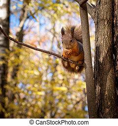 Squirrel, Autumn, dry leaves