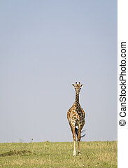 Giraffe on the great plains of East Africa, Masai Mara,...