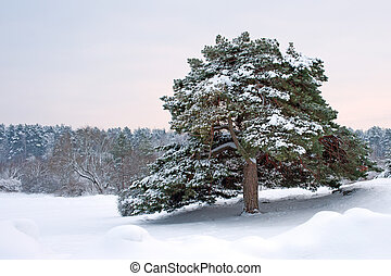 Solitude - A beautiful snowy pine tree in its solitude.