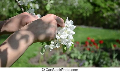 woman bloom apple tree - Woman hands gather pick apple tree...