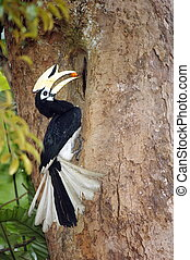 Pied Hornbill at nest - Male pied hornbill at nest, feeding...