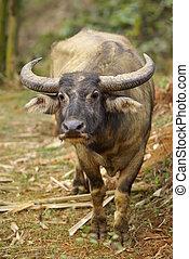 Water Buffalo - A Wild Water Buffalo standing on alert